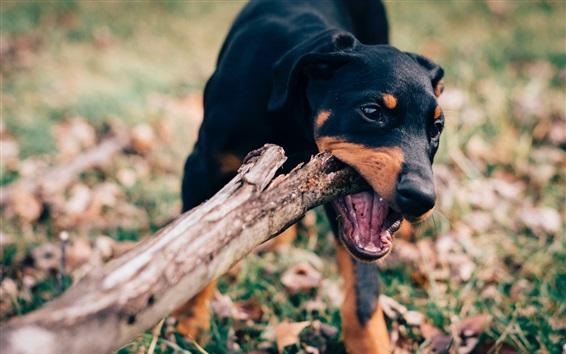 Обои Черная собака игривая, палка