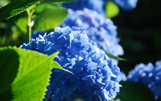 Wallpaper Blue hydrangea flowers, petals, grass