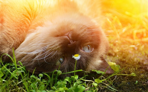 Fondos de pantalla Británico, shorthair, juguetón, gato, flor, sol