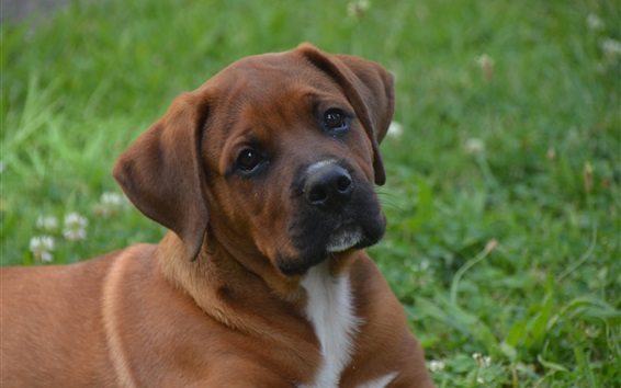 Wallpaper Brown color dog, look, grass