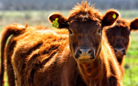 Papéis de Parede Vaca marrom