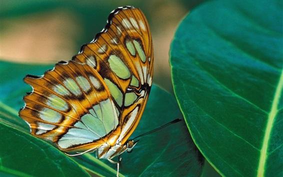 배경 화면 나비, 날개, 녹색 잎