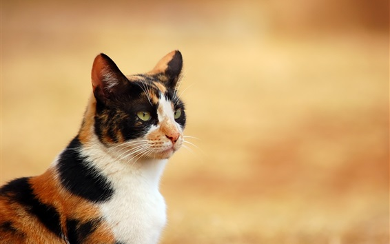 Обои Cat крупным планом, три цвета
