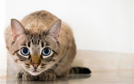 Papéis de Parede Gato, frente, vista, rosto, azul, olhos