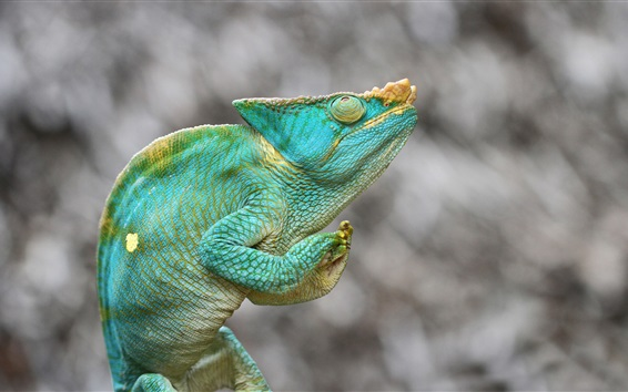 Chameleon, green lizard, blurry background Wallpaper Preview