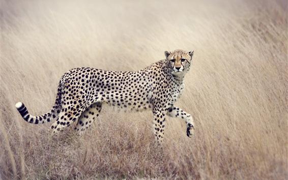 Wallpaper Cheetah, look back, predator, spotted, grass