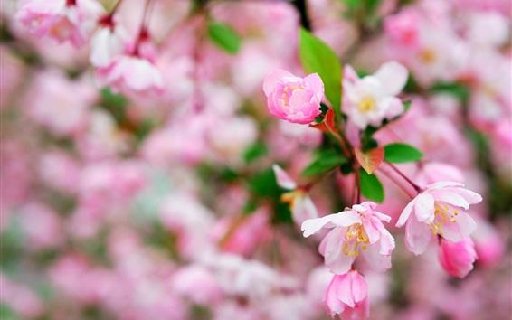 Wallpaper Cherry flowers macro photography, flowering, spring