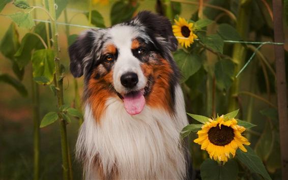 Обои Симпатичные собаки и подсолнух