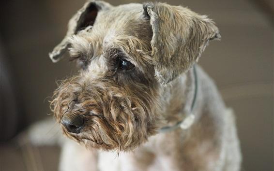 Wallpaper Cute poodle dog
