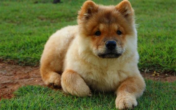 Papéis de Parede Filhote de cachorro bonito, grama verde
