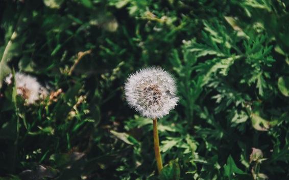 Wallpaper Dandelion flower close-up, green grass