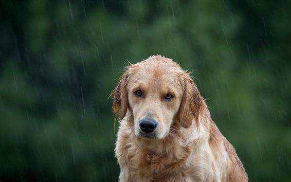 Обои Собака в дождь, увлажняющие