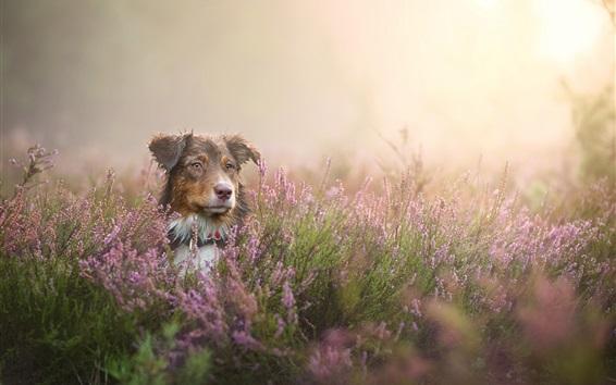 Wallpaper Dog look, wildflowers