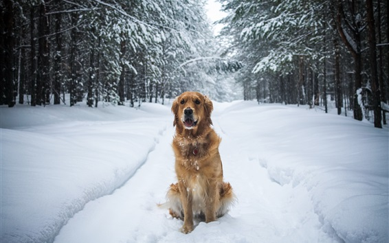 Wallpaper Dog sit in the snow ground, winter