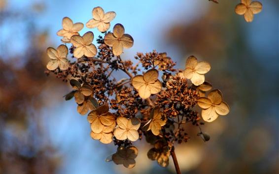 Fond d'écran Hortensia, fleurs, bokeh, automne