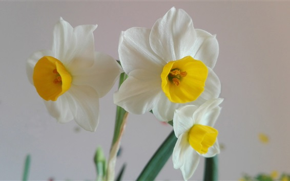 Wallpaper Family flowers, white daffodils