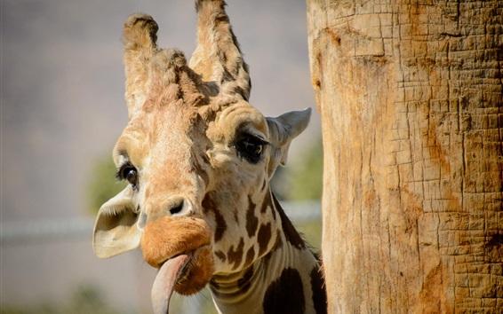 Wallpaper Giraffe funny time, tongue, face
