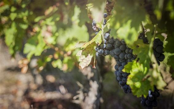 Wallpaper Grapes, foliage, vineyard, fruit