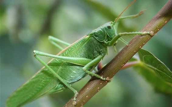 Fondos de pantalla Saltamontes, macro fotografía de insectos