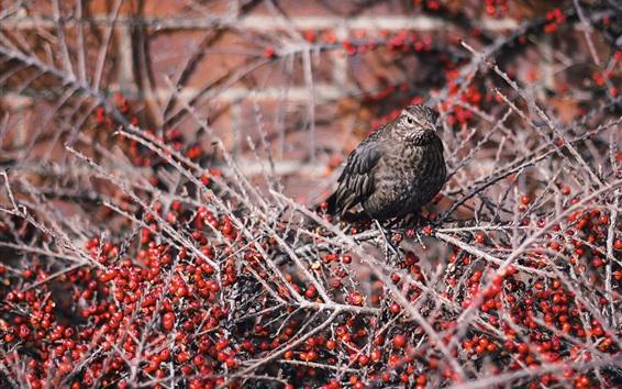 Wallpaper Gray feather bird, twigs, red berries