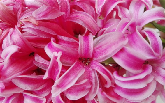 Wallpaper Hyacinth flowers, pink petals macro photography