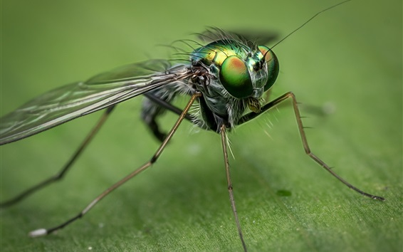 Wallpaper Insect close-up, housefly, eyes, wings
