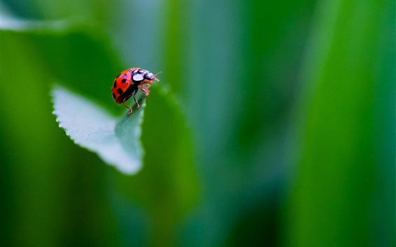 배경 화면 곤충, 무당 벌레, 녹색 배경