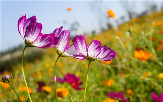 배경 화면 코스 메야 꽃밭, 흰색 보라색 꽃잎