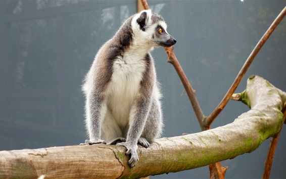 Wallpaper Lemur sitting at tree branch