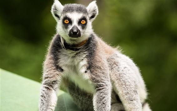 Wallpaper Lemur stand, look