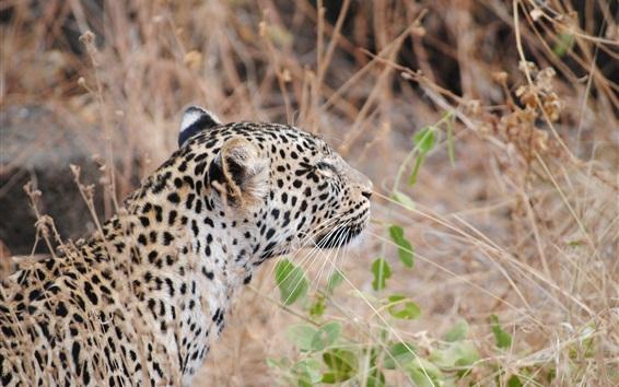 Papéis de Parede Leopardo, costas, vista, grande, gato, capim