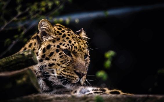 Wallpaper Leopard face close-up, predator, big cat