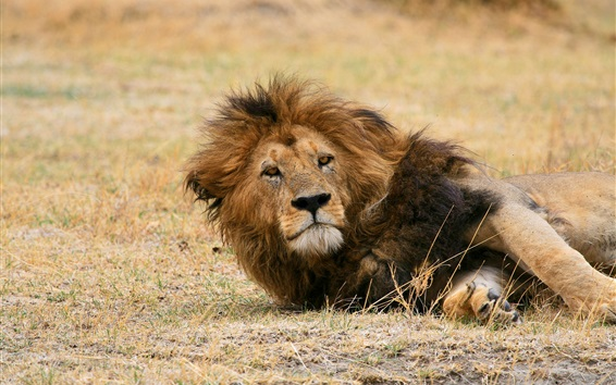 Wallpaper Lion lying on ground, look at you