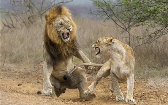 Wallpaper Lioness and lion attack