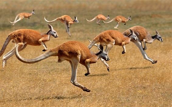 Wallpaper Many kangaroo runs, mammal, Australia