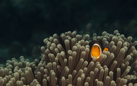 Wallpaper Marine life, fish, sea anemones