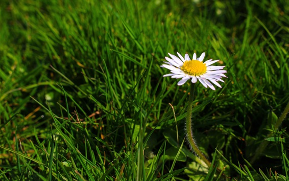 Wallpaper One daisy, white flower, green grass