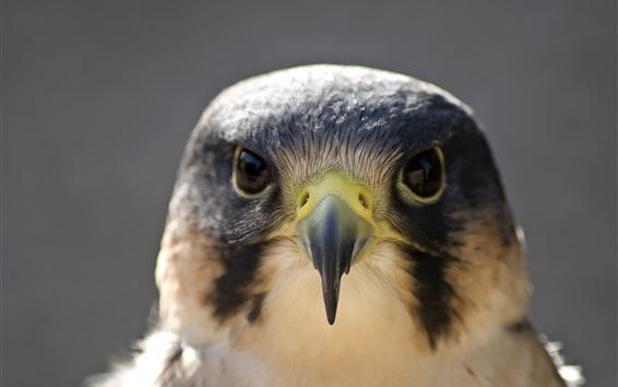Wallpaper Peregrine falcon, bird photography, face, head, beak