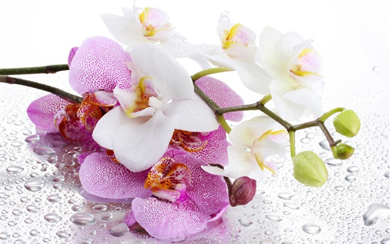 Wallpaper Phalaenopsis, white and pink flowers, water droplets