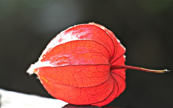 Wallpaper Physalis plant photography, red fruit
