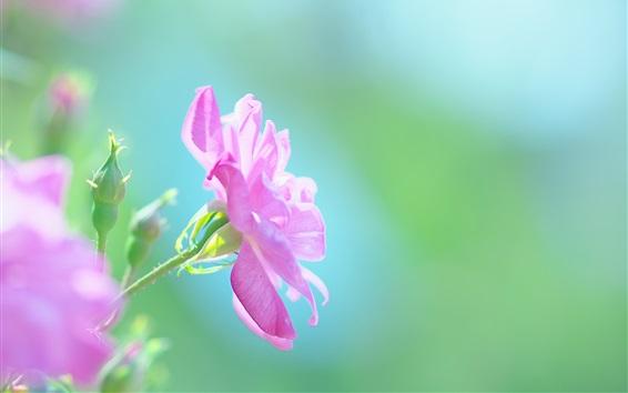 Обои Розовые цветы, природа, лето, зеленый фон