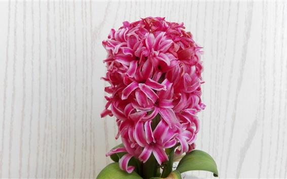 Обои Розовый гиацинт цветы, семейные цветы