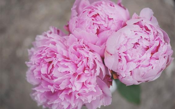 Обои Розовые пионы макро, цветы, лепестки