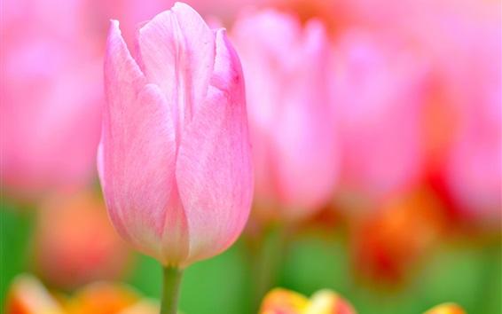 Wallpaper Pink tulip macro photography, petals, blurry