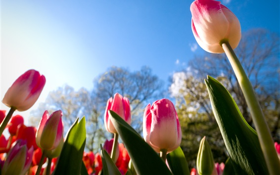 Обои Розовые белые лепестки тюльпанов, сад, небо
