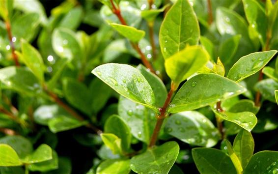 Fond d'écran Plantes, après la pluie, feuilles vertes, gouttelettes d'eau, la lumière du soleil