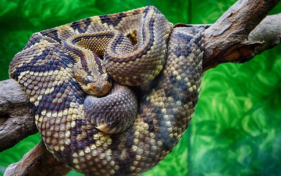 Обои Гремучая крупным планом, змея, весы, дерево