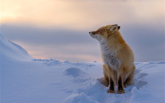 Wallpaper Red fox in the winter, thick snow