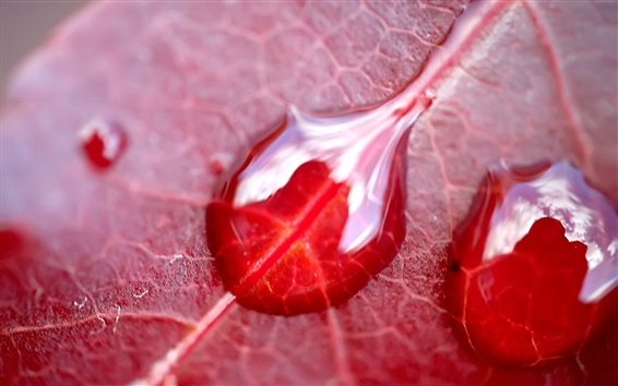 Wallpaper Red leaf macro photography, water droplets
