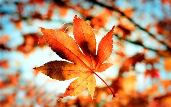 Обои Красный лист клена, дерево, ветки, осень